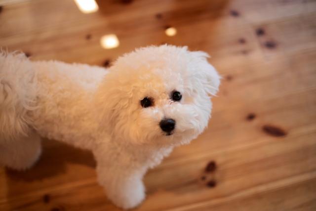 室内犬のビションフリーゼ