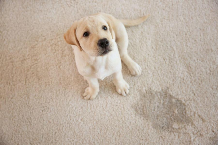 犬のトイレのしつけ