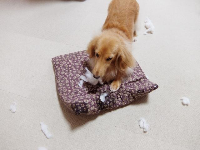 いたずらして破壊する犬