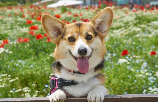 楽しそうな笑顔の犬